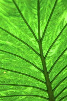 One giant leaf